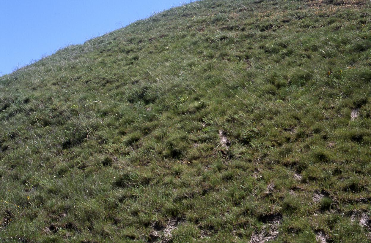 idahofescue2-resized