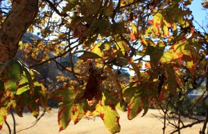 Tesla Park - Western Sycamore in Fall