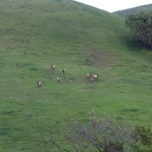 Tule Elk on Tesla Park near Livermore, March 16, 2015