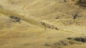 Tule Elk in Tesla September 2015